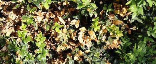 Buchsbaum Durch Ilex Crenata Oder Andere Pflanzen Ersetzen