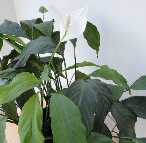zimmerpflanzen f rs b ro und f r zuhause baywa. Black Bedroom Furniture Sets. Home Design Ideas