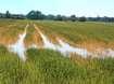 Hochwasser im Getreidefeld